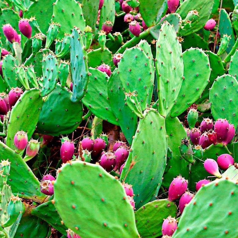 Le Nopal, une plante qui réduit l'appétit