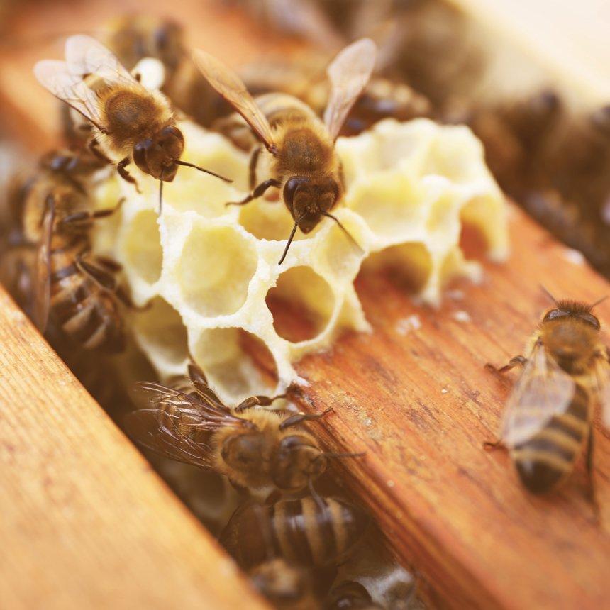 A la découverte du produit le plus rare de la ruche : la Gelée Royale